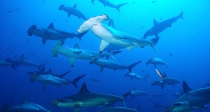 Imagine yourself swimming with this school of hammerheads! (Photo from the Galapagos Conservation Trust).