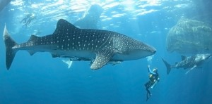 With the advanced equipment and training of scuba diving, you can have unreal experiences underwater, like this moment with a whale shark!